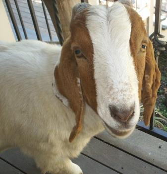 Archie the Goat - This is Archie, the alpha goat on my friend's property; they have 4 goats. They always seem to be getting into trouble and getting into places they shouldn't!
