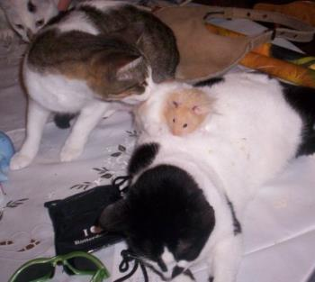 Strange family - Picture of two of our cats with the hamster