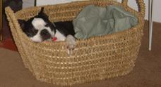 Dog in the Basket! - Gus is my Boston Terrier and loves warm, confined spaces. Here he is in his favorite basket!