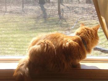 Tigger enjoying the birds - He sure loves looking out the windows. More so if they are open.