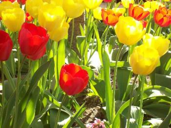 Tulips - Spring flowers blooming in Virginia in May