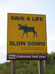 road sign depicting moose-car collisions - This Hi-way sign warns drivers to be wary of wild Moose on the road.