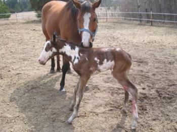 Rio, my little stud colt -  Lacie is a breeding stock paint mare with one blue eye that had never thrown color. She was my first brood mare and look what we got! A beautiful bay overo stud colt with two blue eyes!