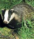 The Badger - A badger has a black and white head; it's head is elongated and he has a snout-like nose.