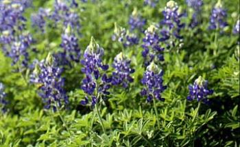 Bluebonnets - The state flower of Texas - we saw a few last weekend on the drive to Tyler