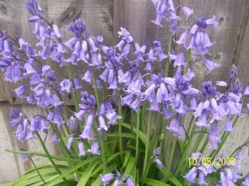 Wild Bluebells in bloom - These Bluebells grow wild in my garden, there is a whole patch of them, this is just one patch of them.