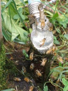 bees - Bees on faucet.