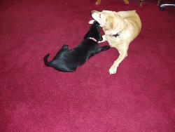 Labrador Friends - Even your pets are your friends.