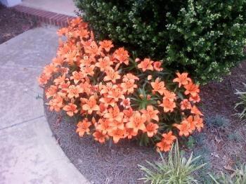 Tiger Lilies 2008 - Beautiful!