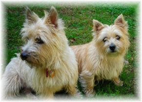 nala and sophie - these are my two cairn terriers 