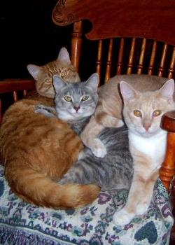 Our cats love to snuggle - This photo is of 3 of our 5 cats. The ginger marmalade on the left is Tigger one of two twin males. The beige male is Nova and the gray one is one of two females called Shall-lie. They are all siblings and we adopted all our cats from local farmers. They were originally barn cats, but now they are happy, pampered indoor cats.