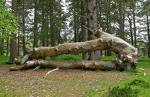 fallen tree - it is very dangerous if a tree happens to fall upon a house or a car. it would be great if a tree was deeply rooted into the ground.