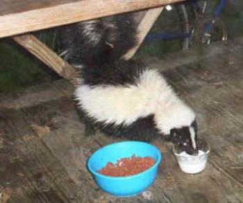 pet skunk - pet skunks are common pets i hear