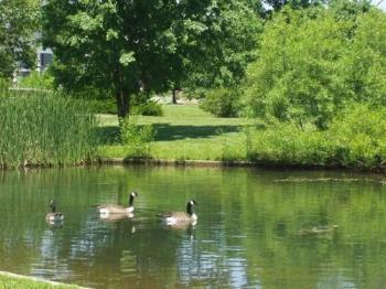 Canadian Geese - We see them everywhere here, especially in our metro parks like this one.