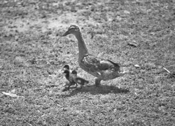 Momma Mallards walking With Her Babies - Black and white photo of a mother mallard with her chicks