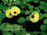 Water Poppy - Plant has pretty yellow flowers in summer.