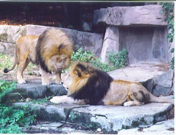 lions - a couple of lions