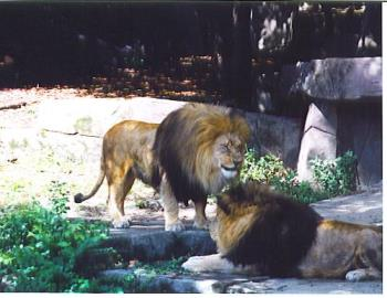 two lions at the zoo - a couple of lions