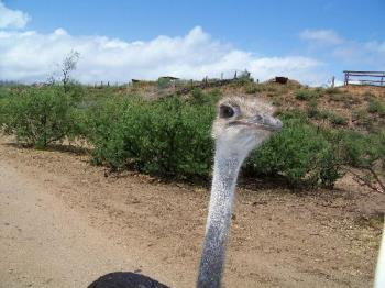 Ostrich at Out of Africa near Sedona AZ - This Ostrich and I bonded at a wild animal park.