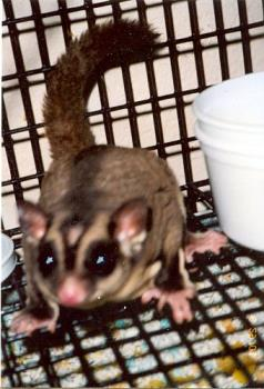 Our male sugar glider - This is a pic of our male sugar glider JJ. As you can see, he has a bald spot too.