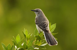 Mockingbird - A pix of the bird. A rather drab medium sized grey bird.