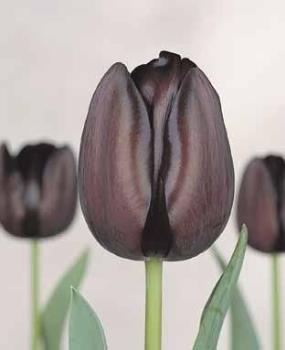 deep purple tulips - Pretty black tulips( well deep purple)