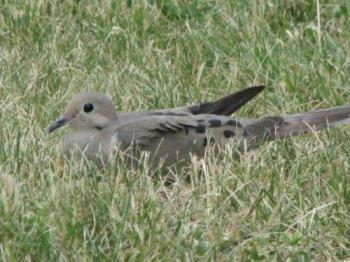 Lazy Bird - Eating From The Grass
