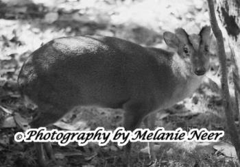Photo of A Pudu Deer At Discovery Island - image of a deer taken at disneyworld, Orlando, Florida