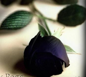 black beauty rose - a black beauty rose is very rare . It has been told that there are only deep purple ones out there and they look black