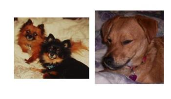 The doggies in my life - The two pomeranians, Puff (brown one) and Talitha (black one) are both deceased now, they were my dogs and I had them for 14 and 15 years until they had to be euthanized. I still miss them. The mixed breed dog is Rosie, our family dog that we have now. We've had her about 8 months.