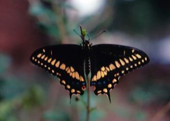 American Black Swallowtail Butterfly - image of an American Black Swallowtail Butterfly