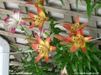 Awesome Lilies - Just another shot of them here.