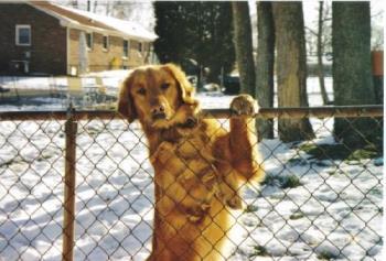 Rusty - My golden retriever.