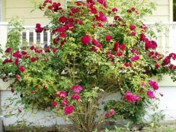 rose bush  - This is a shot of the old rose bush in front of my house.