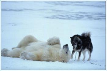 Polar bear plays with dogs - Polar bear in canada plays with sled dogs every day for a week.