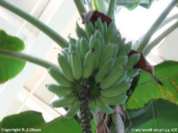 Banana Tree - With Green Banans on it