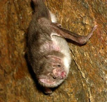 vampire bat - vampire bat in latin america