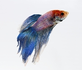 beta fish - photo of beta fish