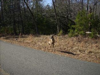 Deer At Morrow Mountain North Carolina - This is a pic of a deer at morrow mountain state park they just come right up to the vehicle. There were a bunch of them out on the day we went