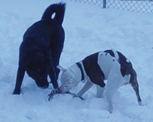 My Babies! - Here they are playing together with a rope toy bone several winters ago.