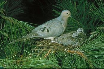 Mourning Dove & Baby - These birds are so pretty and I love to hear the sound they make. There cooing is very relaxing.