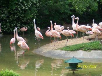 pink flamingo's - Taken at the Ft.Worth zoo.