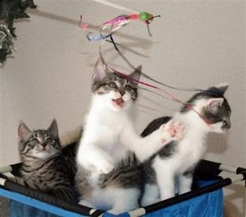 cats - a few kittens playing