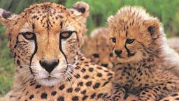 Cheetah and Baby - Cheetahs are endangered. They are the most beautiful creatures of God. They are sleek and their running speed is unreal.