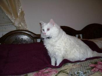 Buffy - This is my 23 pound white cat.