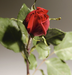 Roses for your anniversary. - Anniversary's are very special. Red roses symbolize the deep love of one for another. Even though your anniversary was on the 9th August my wishes for you are still strong. Happy anniversary to you and your wife.