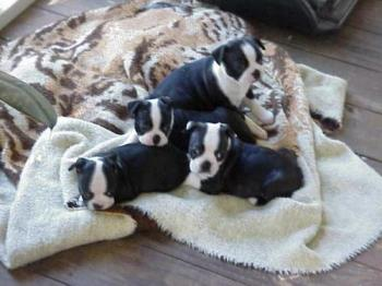 Boston Terrier puppies. - Puppies from a previous litter, two of these we kept, they are two years old now.