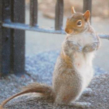 hotpants - one of the squirrels that comes up on our back porch