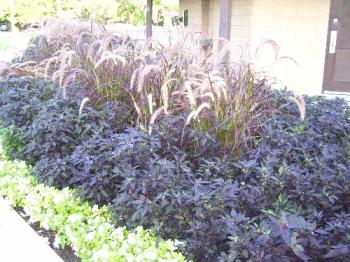 A planting of ornamental peppers - These dark plants that look very purple are really ornamental peppers. The fruit on them looks like little black marbles. They did well this year. This is at one of our parks.