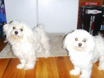 My Maltese babies: Penny and Lilly - Lady Penelope and Lady Lillith, a.k.a. Penny and Lilly, a.k.a. Pretty Girl and Cutie Pie.